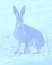 hare blue
